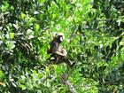 A baboon sits in a Ugandan farmer's jackfruit tree