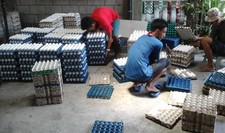 Farmhands organizing eggs in the Philippines