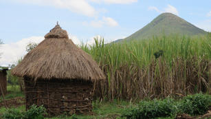 A sugar cane farm in Kenya